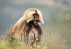 Mono de Gelada en parque nacional de las montañas de Simien fotografía de archivo libre de regalías