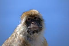 Mono de Gibraltar Fotografía de archivo libre de regalías