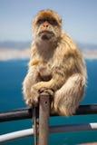Mono de Gibraltar Fotografía de archivo