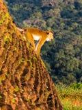 Mono de griterío