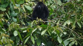 Mono de griterío en árbol foto de archivo