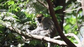 Mono de Grivet en árbol almacen de metraje de vídeo