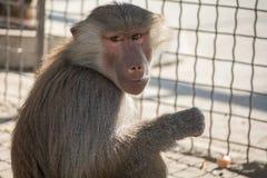 Mono de Hamadryad que se sienta en la jaula del parque zoológico Imagenes de archivo