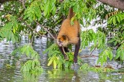 Mono de la araña de Geoffroy o mono de araña negro-dado en un árbol en una isla en el lago nicaragua foto de archivo libre de regalías