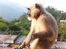 Mono de la cara negra en el tejado Foto de archivo