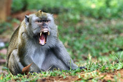 Mono de la cola larga Imagenes de archivo