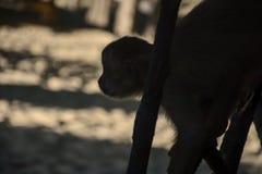 Mono de la duna de la sombra Foto de archivo