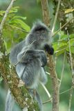 Mono de la hoja de plata Imagenes de archivo