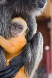 Mono de la hoja de plata del bebé Imágenes de archivo libres de regalías