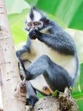 Mono de la hoja de Thomas Foto de archivo libre de regalías
