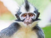 Mono de la hoja de Thomas Imágenes de archivo libres de regalías