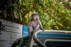 Mono de la hoja del Langur en el tejado del coche Imagenes de archivo