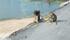 Mono de la madre con el bebé que come los mangos Imágenes de archivo libres de regalías