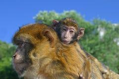 Mono de la madre con un cachorro   Fotos de archivo libres de regalías