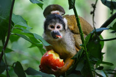 Mono de la mamá con el bebé foto de archivo