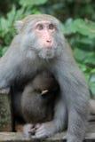 Mono de la montaña del mono con el bebé en Taiwán Imagen de archivo