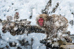 Mono de la nieve Fotografía de archivo libre de regalías