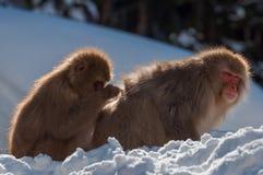 Mono de la nieve Foto de archivo