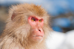 Mono de la nieve Fotografía de archivo