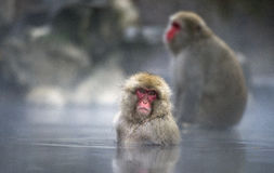 Mono de la nieve Foto de archivo libre de regalías