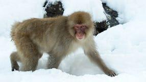 Mono de la nieve El macaque japonés fotos de archivo