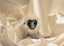 Mono de la nieve, el símbolo del año del mono Imagenes de archivo