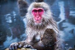 Mono de la nieve en el parque Japón del mono Imagen de archivo