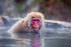 Mono de la nieve en Jigokudani fotos de archivo