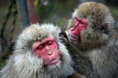 Mono de la nieve en Jigokudani cerca imágenes de archivo libres de regalías