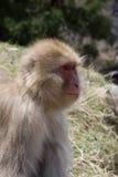 Mono de la nieve en perfil Foto de archivo libre de regalías