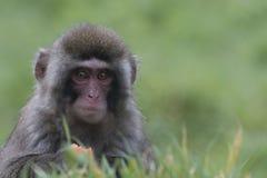 Mono de la nieve, macaque japonés, retrato, expresión Imágenes de archivo libres de regalías