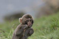 Mono de la nieve, macaque japonés, retrato, expresión Foto de archivo libre de regalías