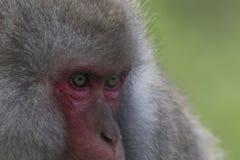 Mono de la nieve, macaque japonés, retrato, expresión Fotos de archivo