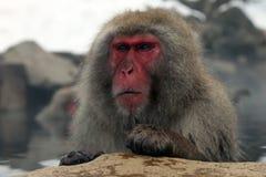 Mono de la nieve, macaque que se baña en las aguas termales, prefectura de Nagano, Japón Imágenes de archivo libres de regalías