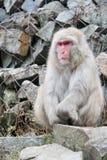 Mono de la nieve que reflexiona vida Imagenes de archivo