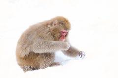 Mono de la nieve que se sienta en nieve Fotografía de archivo