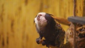 Mono de la raza del mono tití almacen de metraje de vídeo