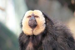 Mono de la selva tropical Fotografía de archivo libre de regalías