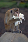 Mono de la toca Fotografía de archivo