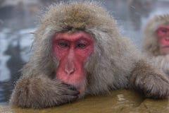 Mono de las aguas termales Imágenes de archivo libres de regalías