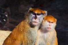 Mono de los pares Imagen de archivo libre de regalías