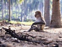 Mono de Macaque Fotografía de archivo