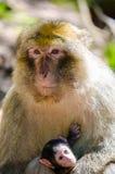 Mono de Macaque Foto de archivo libre de regalías