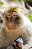 Mono de Macaque Imagen de archivo libre de regalías