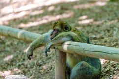 Mono de Macaque Fotografía de archivo libre de regalías