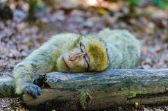 Mono de Macaque Imagen de archivo