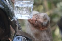 Mono de Macaque imagenes de archivo