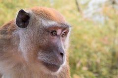 Mono de Macaque adulto Imagen de archivo libre de regalías
