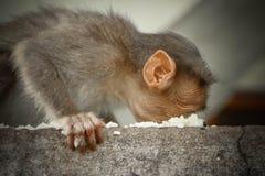 Mono de Macaque de capo que come la comida de la calle fotos de archivo libres de regalías