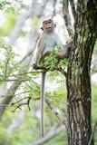 Mono de macaque de la toca que se sienta en un árbol en hábitat natural en senior Imagen de archivo libre de regalías
